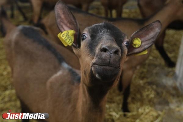«На одного французского козла - 25 козочек». JustMedia побывал на екатеринбургской ферме. ФОТО. ВИДЕО
