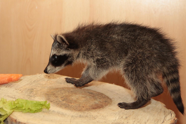 ВЕкатеринбургском зоопарке появился сын енот-полоскун