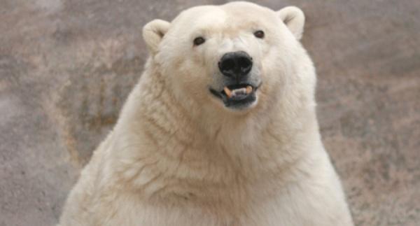 В Екатеринбургском зоопарке на день рождения белому медведю подарят зачетку