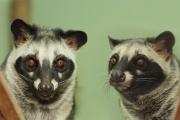 Мусанги Инь и Ян признаны самой романтичной парой в екатеринбургском зоопарке