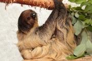 Ленивица Ляля из екатеринбургского зоопарка получила титул «Зоомисс-2015»