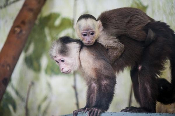 В Екатеринбургском зоопарке родился белоплечий капуцин
