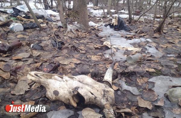 Екатеринбуржец обнаружил на берегу Верх-Исеткого пруда десятки телячьих голов и костей