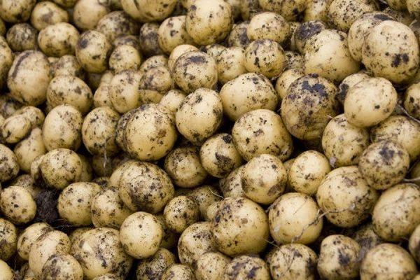 Россельхознадзор ограничил ввоз на территорию России картофеля из Египта