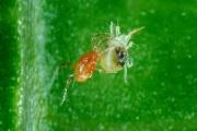Хищный клоп Марколофус против Белокрылки: в «УГМК-Агро» в борьбе с вредителями применяют биологический способ