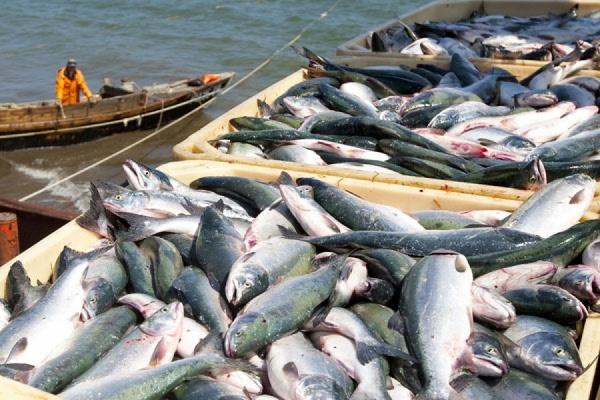 Рыбу с Дальнего востока на запад России будут возить по Северному морскому пути