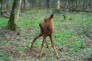 Куйвашев разрешил убивать лосят и лосей-самцов в брачный период
