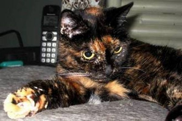 В США, прожив по человеческим меркам 125 лет, умерла самая старая кошка в мире