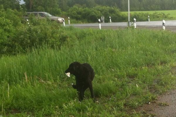 Жители Богдановича ищут хозяина для собаки-бродяжки, которая уже месяц приходит к одному и тому же перекрестку