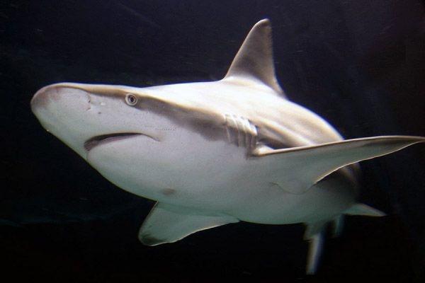 Акула стала жертвой ДТП в американском штате Флориде