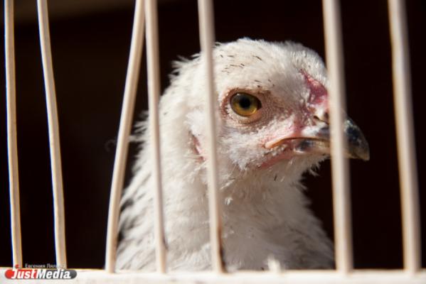 Птицефабрика «Рефтинская» наращивает производство мяса