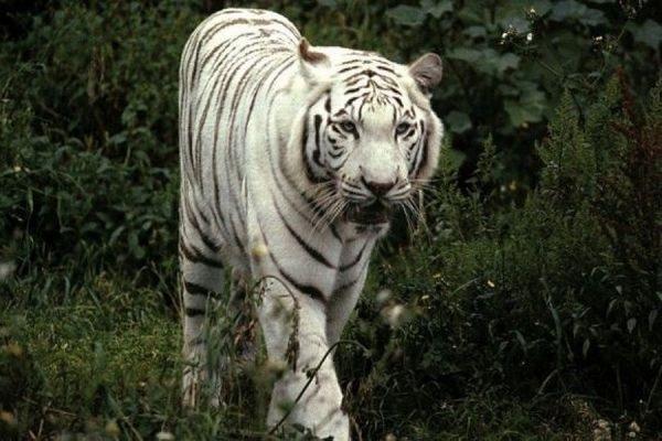 В Тбилиси застрелили задравшего мужчину тигра-альбинос