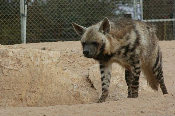 В Тбилиси ищут сбежавших из зоопарка «маленького тигра» и гиену