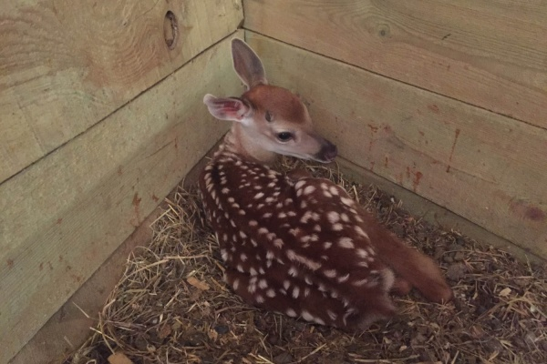 Уникальный случай. В свердловском контактном зоопарке родились сразу два пятнистых олененка
