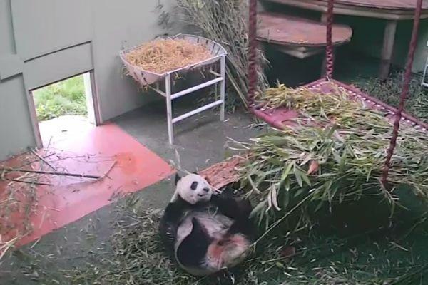 Упавшая с кровати Панда Тянь-Тян из зоопарка Эдинбурга стала звездой интернета
