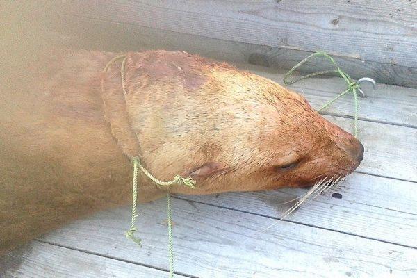 Житель Хабаровского края застрелил заплывшего в Амур северного морского льва