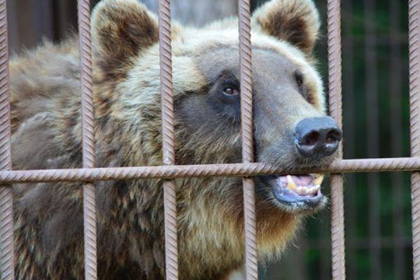 В Томске медведь оторвал руку посетительнице кафе