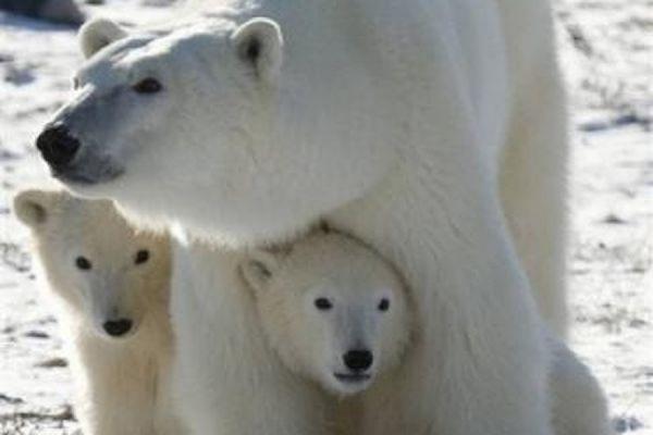 Популяция белых медведей в Арктике может полностью исчезнуть к 2025 году