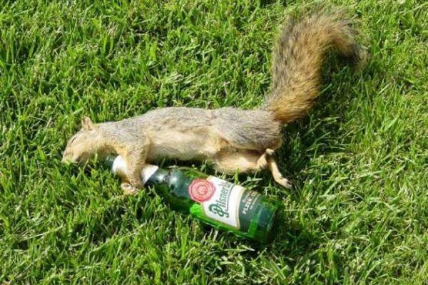 В Британии белка, напившись пивом, устроила погром на территории частного клуба