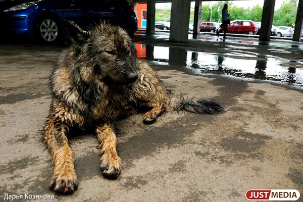Восемдесят собак могут остаться на улице. Первоуральский приют для животных лишился крыши над головой
