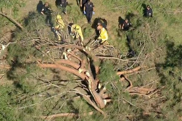 В Калифорнии 23-метровая сосна упала на детей