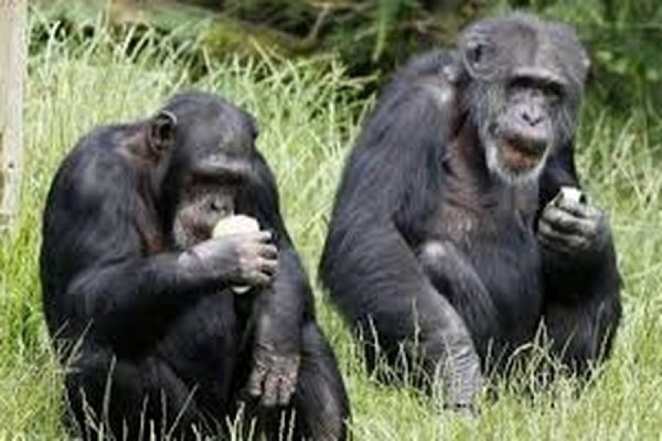 Суд в Нью-Йорке отказался признать личностями двух шимпанзе