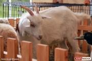 Россельхознадзор запретил поставку козьего молока и овечьей шерсти из Казахстана