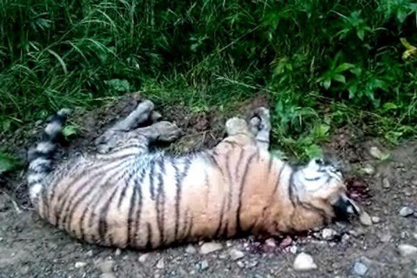 На месте убийства тигра в Хабаровском крае найдены следы крови и выстрелов