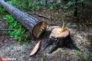 Спиленная черными лесорубами сосна оставила без света поселок Исеть в Верхней Пышме