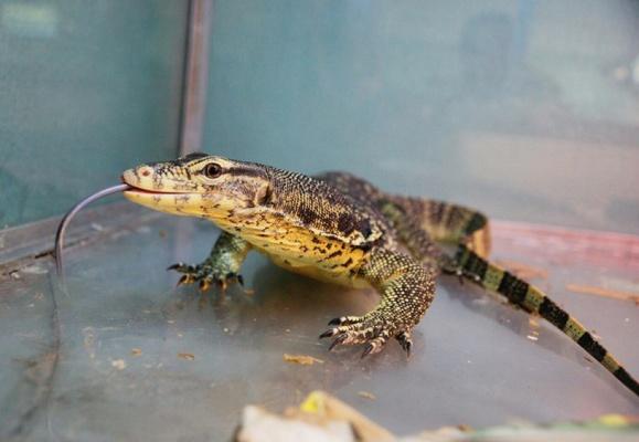 В Екатеринбургском зоопарке появились полосатые вараны