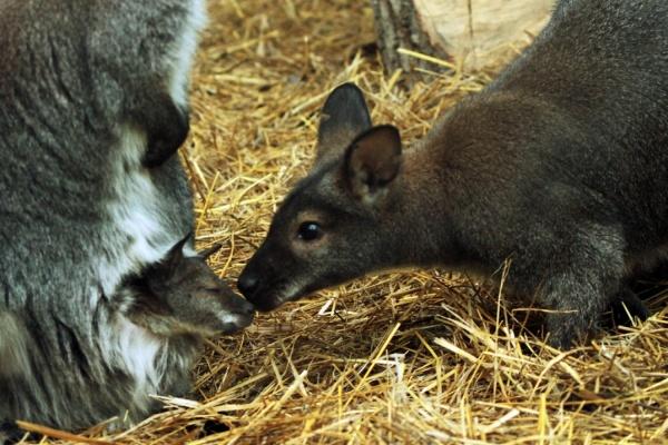 В воскресенье в Екатеринбургском зоопарке отметят День кенгуру. ФОТО