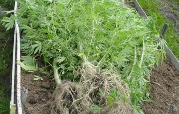 Сотрудники наркоконтроля обнаружили у тагильчанина в теплице восемь кустов конопли
