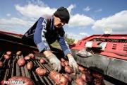 В Свердловской области погода по-прежнему не позволяет убрать картофель