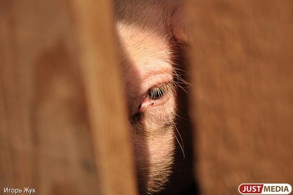 В Екатеринбурге ликвидируют несанкционированные свалки, чтобы предотвратить африканскую чуму свиней