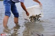 Минприроды спасает Верхне-Сысертский пруд от заболачивания с помощью белого амура и карпа