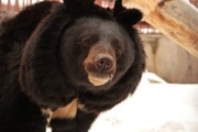 Медведи Екатеринбургского зоопарка уже впали в спячку