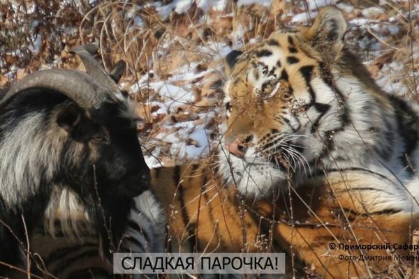 За развитием отношений козла и тигра можно будет наблюдать онлайн