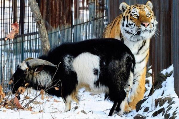 У тигра и козла появились страницы в соцсетях и магазин сувениров