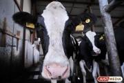 Свердловские коровы стали давать больше молока