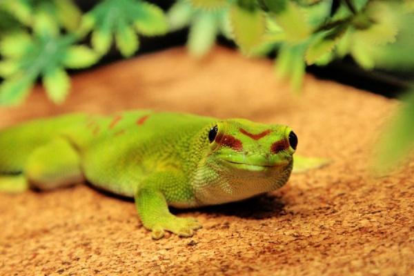 В Екатеринбургском зоопарке принесли потомство мадагаскарские гекконы