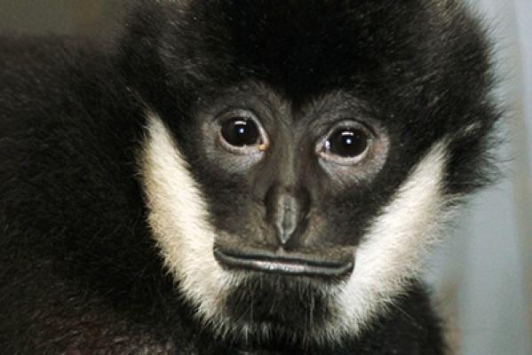Главным самцом Екатеринбургского зоопарка в этом году стал гиббон Бобо