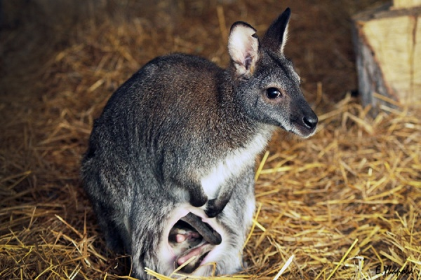 В Екатеринбургском зоопарке — пополнение в семействе кенгуру Беннета