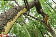 В Екатеринбурге обрезали более 1700 деревьев
