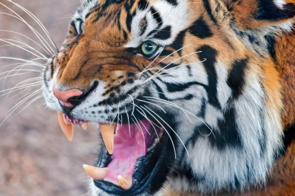 В зоопарке Барнаула тигр напал на школьницу