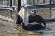 Спасатели эвакуировали из зоны затопления в Ирбите 11 страусов