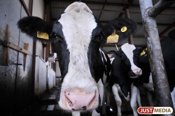 Четыре миллиона — на развитие мясного скотоводства. Свердловская область получила государственную субсидию
