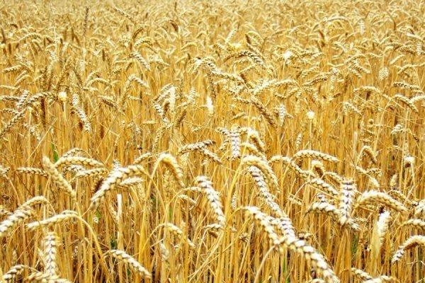 Поставки пшеницы в КНР начнутся в ближайшее время