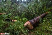 Габинский продолжает незаконно вырубать деревья в Зеленой роще. В деле замешан арестованный министр Пьянков