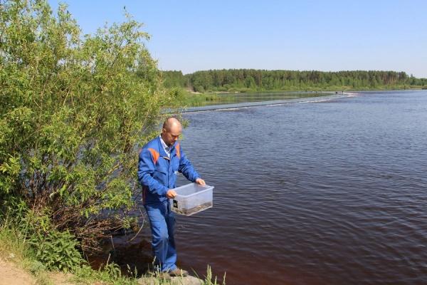 В Рефтинское водохранилище выпустили 70 тысяч молоди стерляди