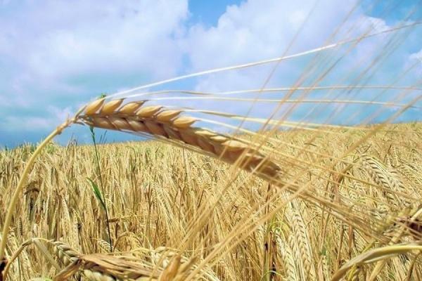 Аграрии Ульяновской области завершают сбор зерновых культур